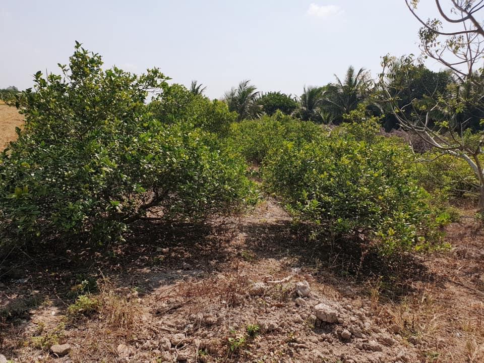 Lô đất đang trồng chanh thu hoạch được hiện cần tiền nên bán chỉ 320tr